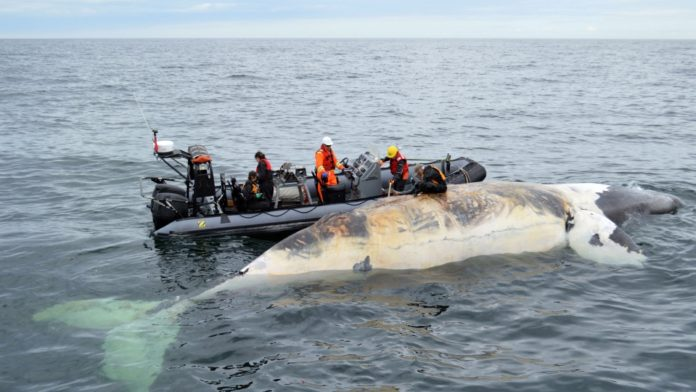 dead right whale